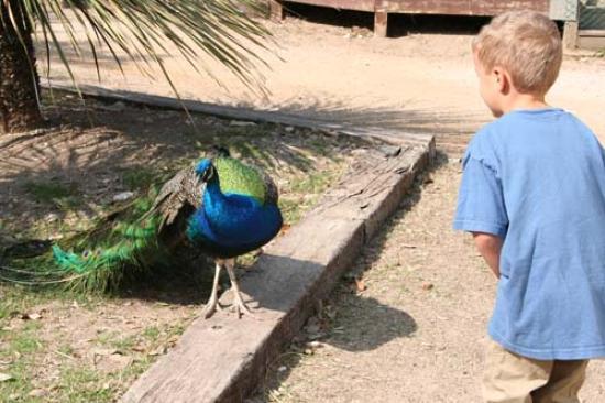 Luke and the peacock