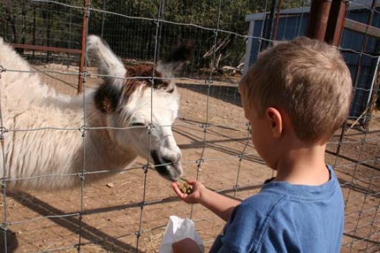 Luke feeds the llama