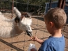 Luke feeds the llama