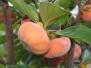 Persimmon Harvest 2010