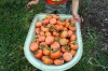 Bushel of persimmons