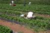 strawberry-picking-004