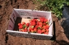 strawberry-picking-009