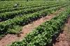 strawberry-picking-023