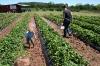 strawberry-picking-024
